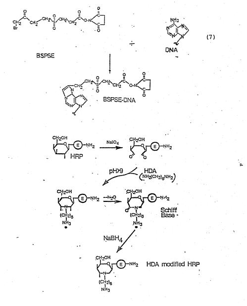 small resolution of example 2 dinitrophenyl labeled dna probes