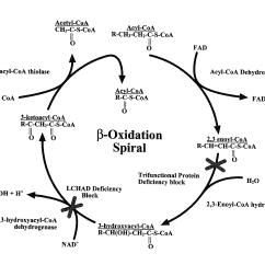 Golgi Apparatus Structure Diagram 2005 Honda Accord Stereo Wiring Body Stroma Elsavadorla