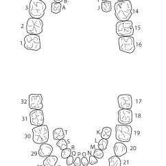 Diagram Of Teeth And Their Numbers Dog Nail Dental Tooth Wiring Fuse Box