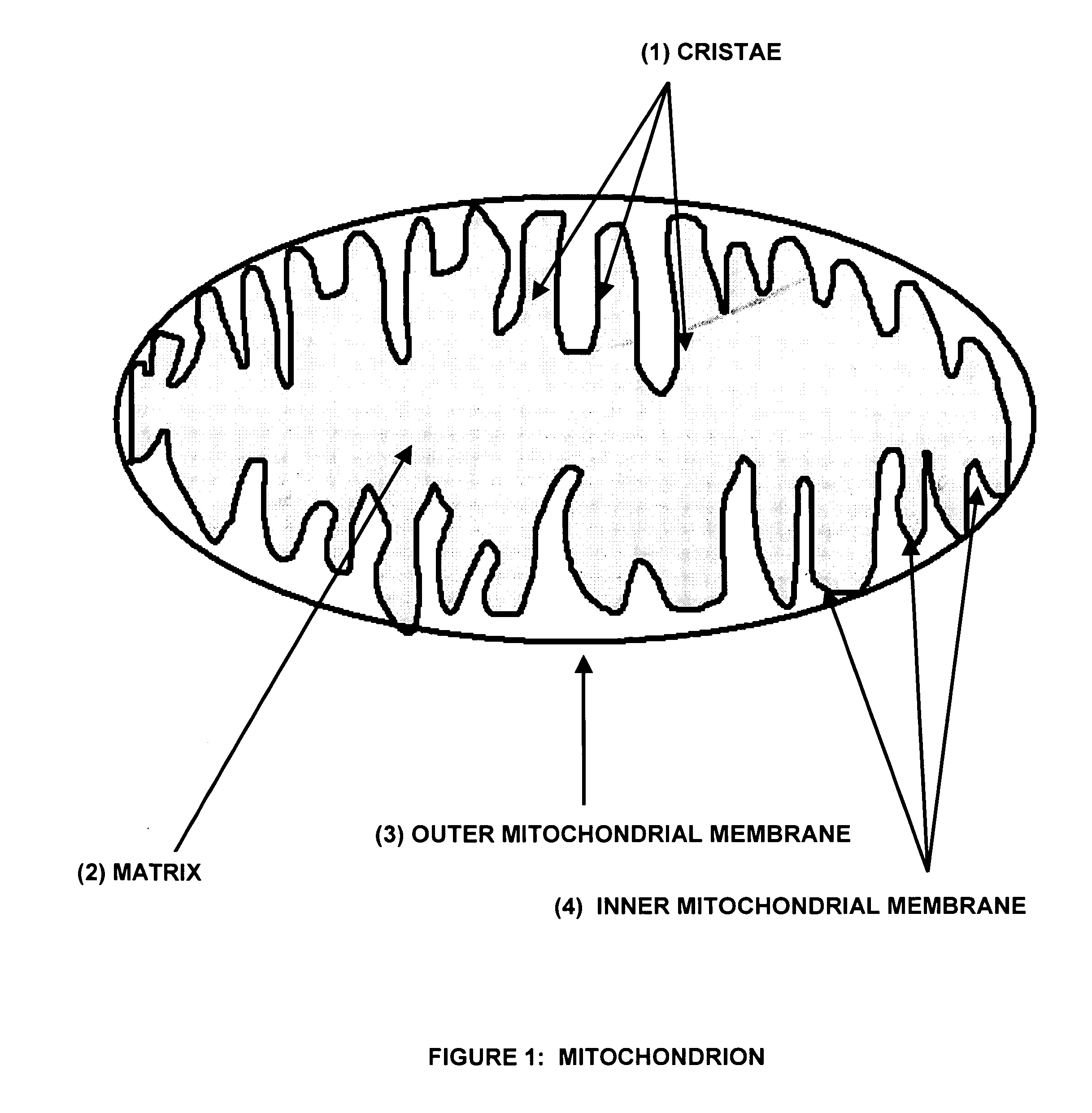 Sketch Of Mitochondria And Chloroplast Coloring Pages