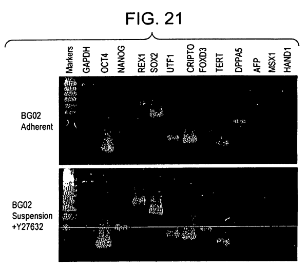 Patent Us8008075 - Stem Cell Aggregate Suspension