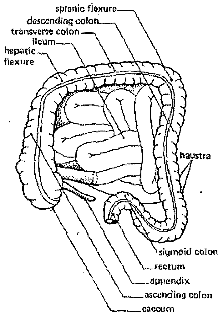 Distal Colon