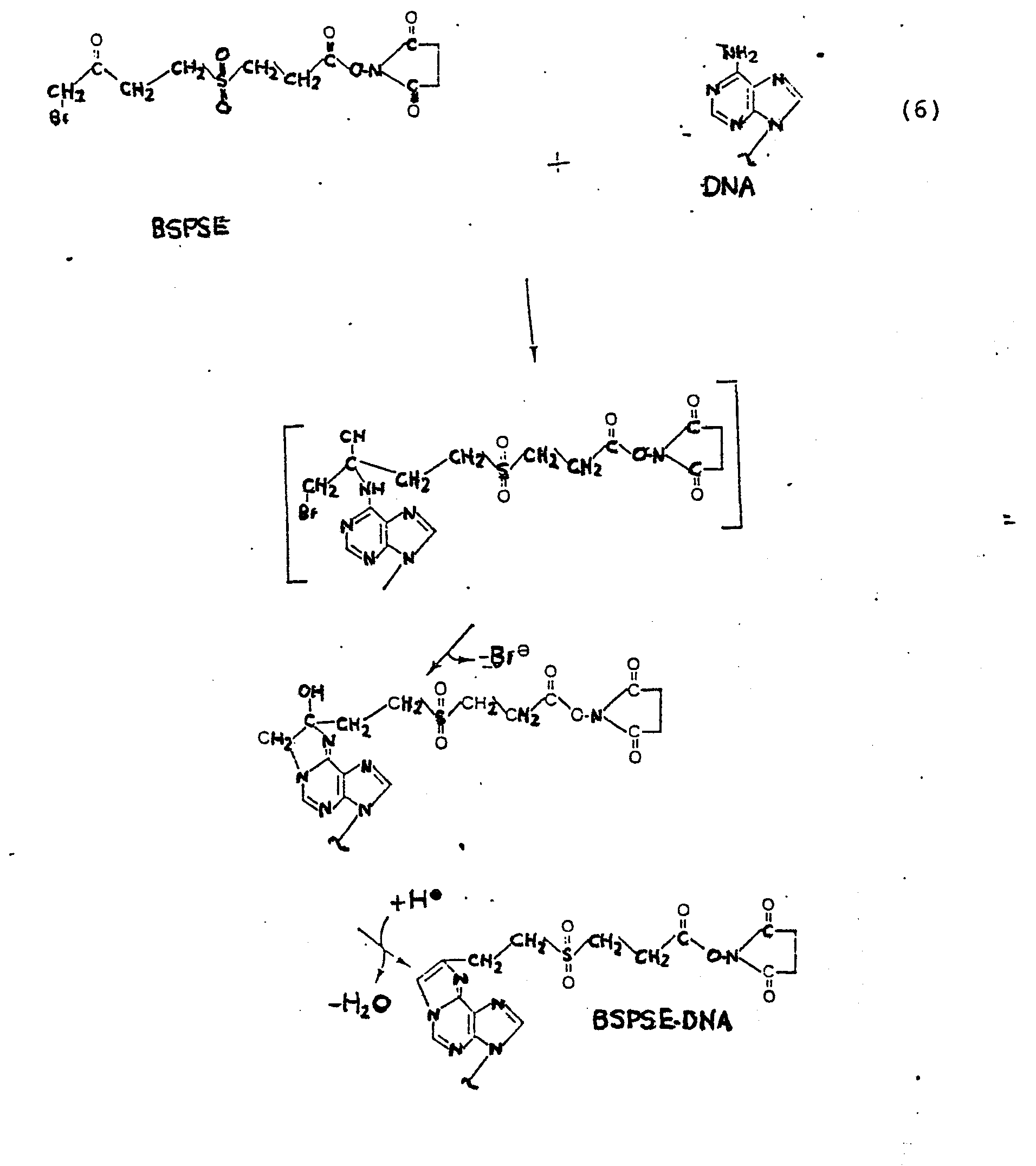 hight resolution of the resulting derivatized dna molecule containing a highly reactive ester group is the precursor to a wide variety of labeled dn a molecules