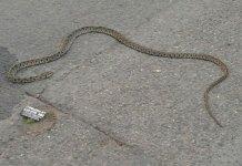Imagen de una serpiente encontrada en el barrio centro