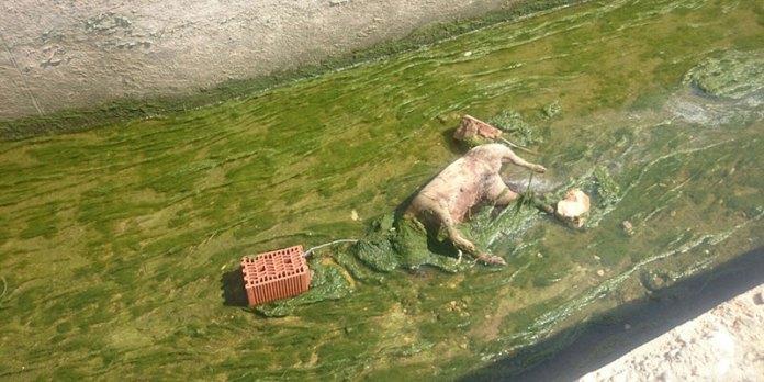 El animal apareció muerto con un ladrillo atado al cuello