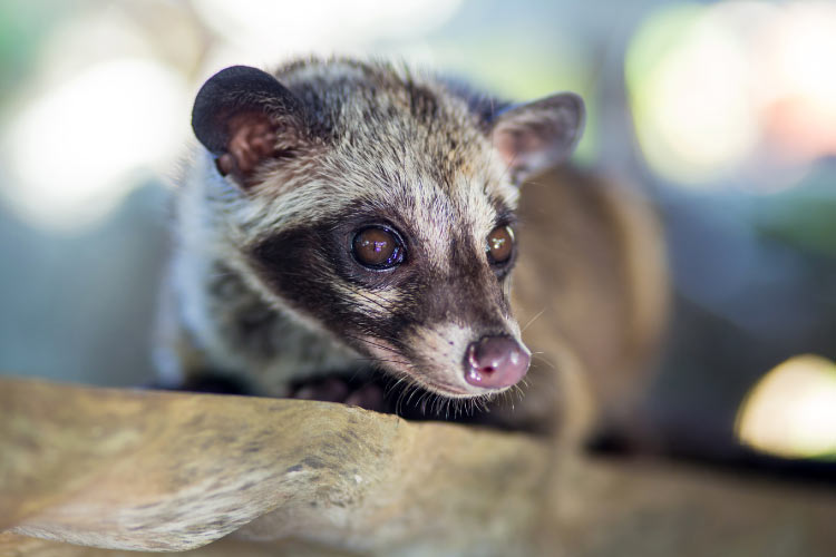 3web-asian-palm-civet-produces-kopi-luwak