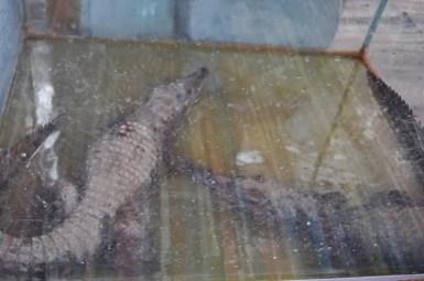 """В нубийското селце посетихме къща с """"ферма за крокодили"""". В този мръсен аквариум се отглеждат 2-3 упоени болнави крокита, щото да радват туристите."""