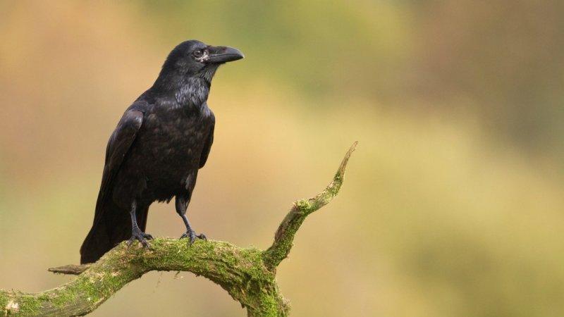 totem corbeau corneille