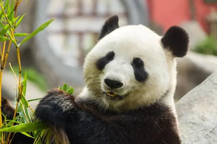 Animal Totem Le Panda : Symbolisme