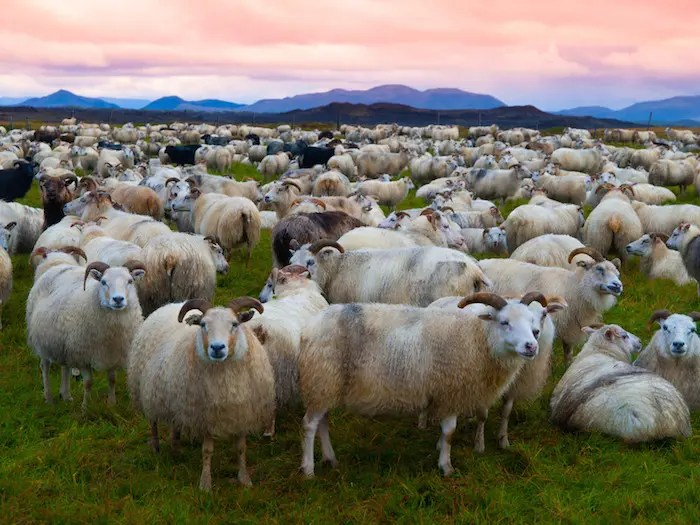 Animal Totem Le Mouton : Symbolisme