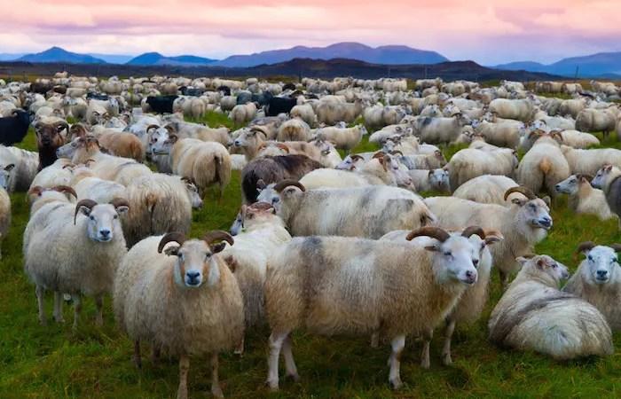 animal totem le mouton