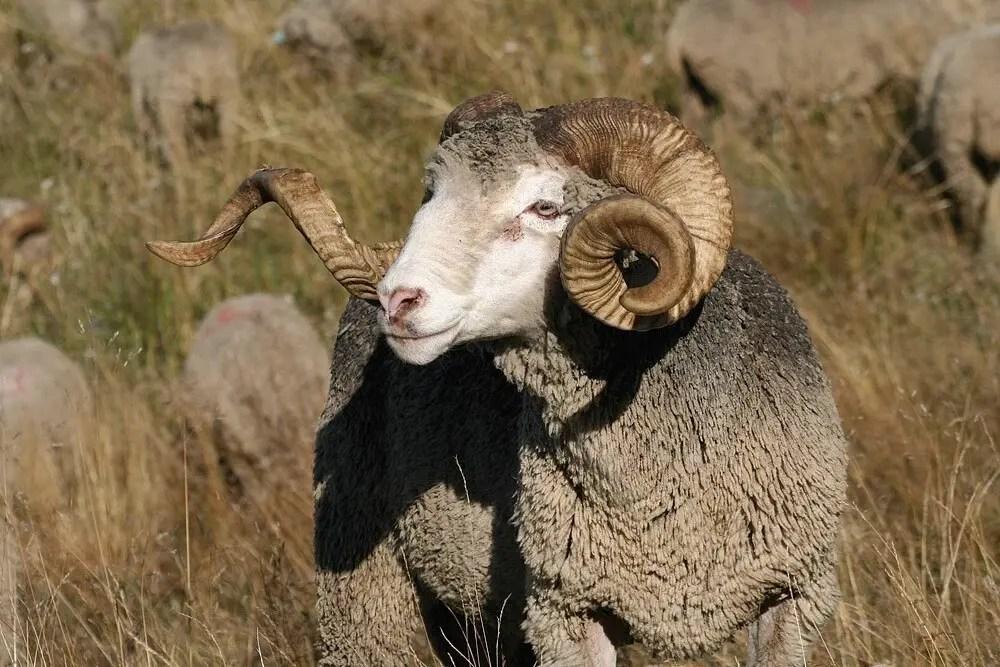 Animal totem le belier : Symbolisme
