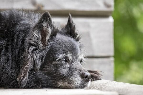 Déterminer l'âge du chien