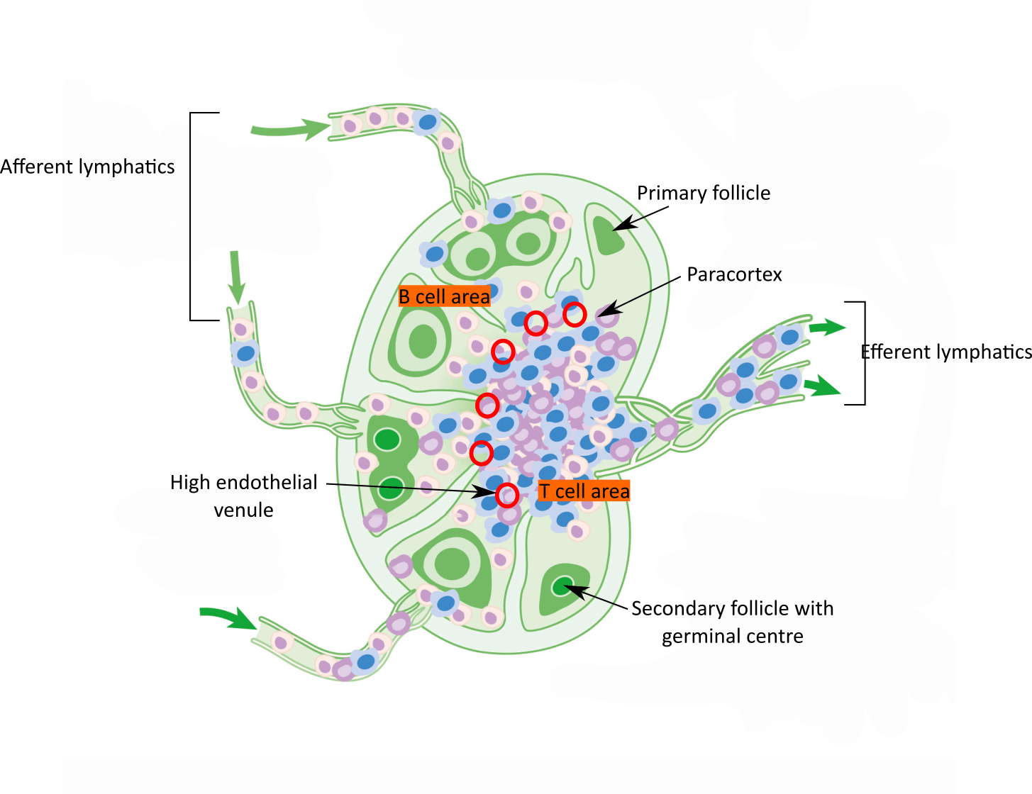 hight resolution of  andrewmeyerson cc by sa 4 0 https creativecommons org licenses by sa 4 0 from wikimedia commons diagram of lymph node structures
