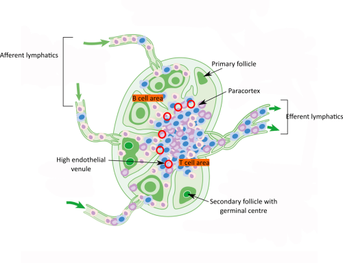 small resolution of  andrewmeyerson cc by sa 4 0 https creativecommons org licenses by sa 4 0 from wikimedia commons diagram of lymph node structures