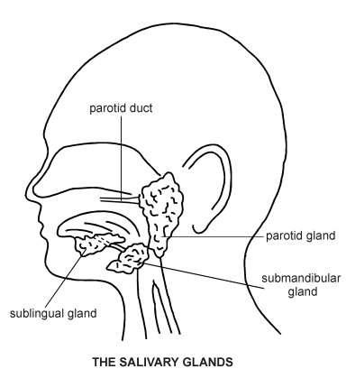 Salivary Glands   Diagram   Patient