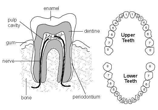 diagram of teeth by number