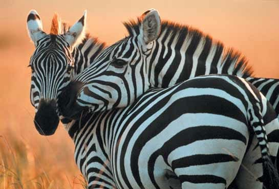 Have You Herd? What Zebras and CVID patients have in common…