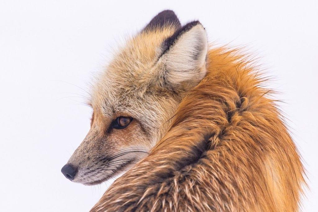 「fox snow nature」の画像検索結果