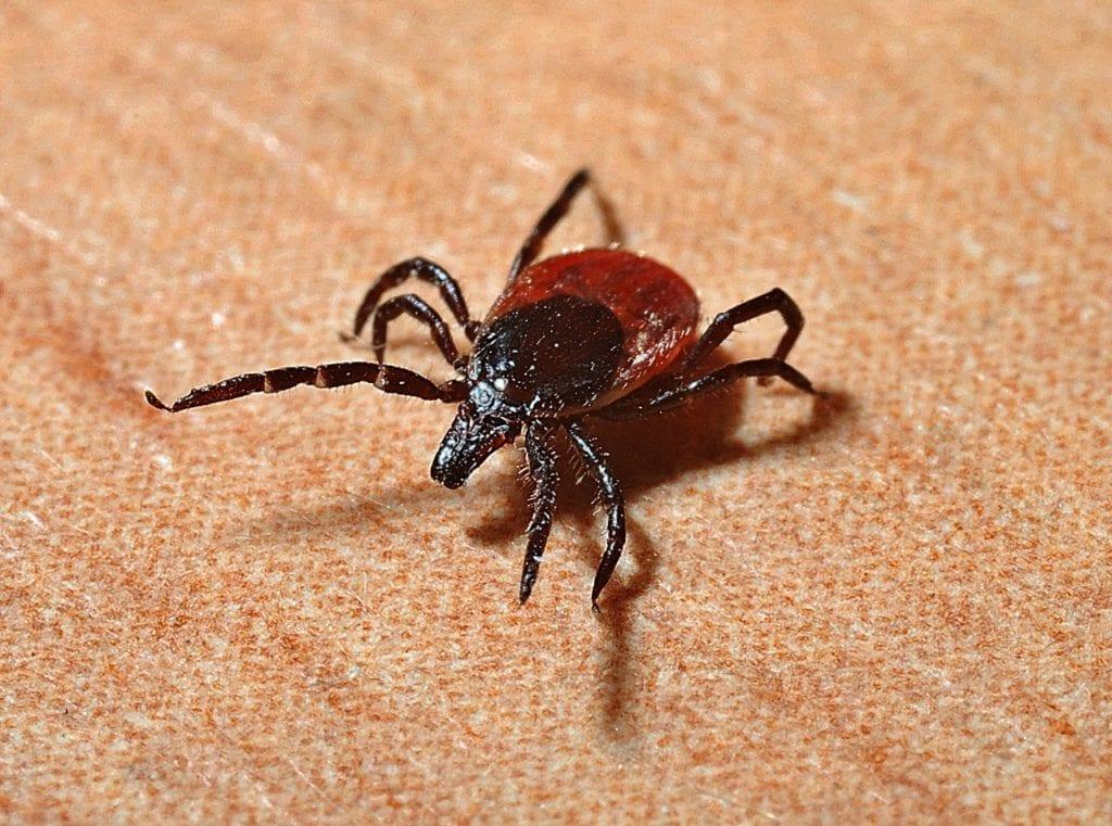 The Various Dangers of Getting Bitten by the Deer Tick