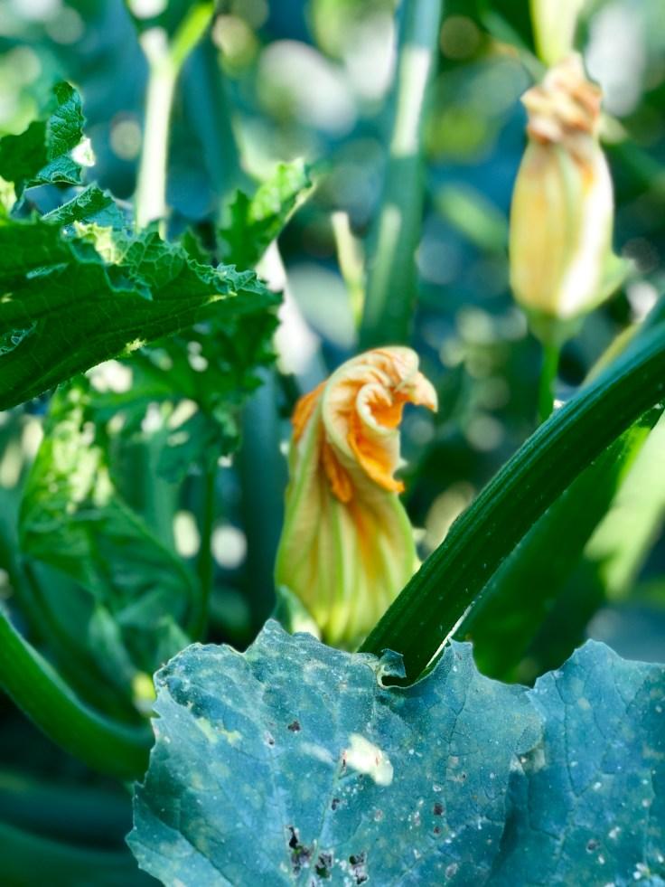 פרחי קישוא בשדה