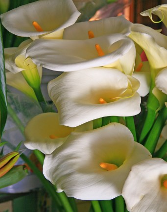 Images of Flowers: Calla Lillies, Guanajuato, Mexico