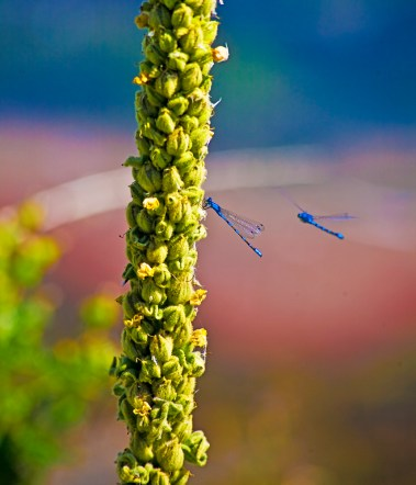 Images of Flowers: Dragonfly on Mullein Flower