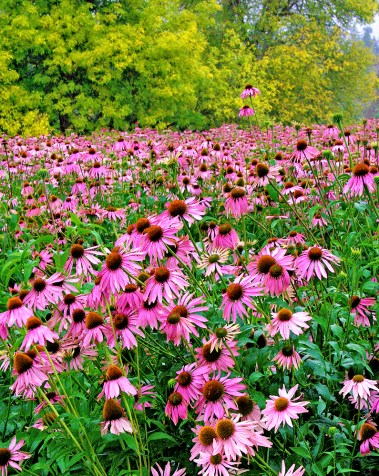 Images of Flowers: Echinacea Field at Sunrise