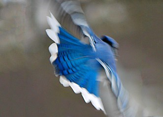 Blue Jay bird a colorful active winter scene, gorgeous vibrant plumage