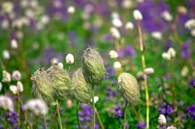 Images of Flowers: Pasque Flower Abstract, Mt Rainier