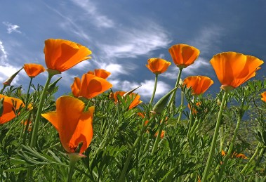 Images of Flowers: Poppy and Cloud