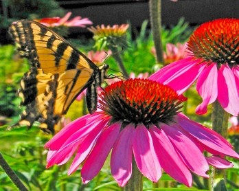 Images of Flowers: Swallowtail on Echinacea