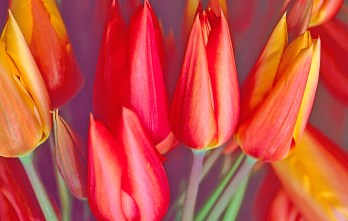 Images of Flowers: Tulips