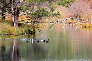 Wood River Reflections Ducks
