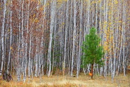 Aspen with Pine, Klamath Lake