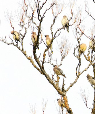 Cedar Waxwing bird flock roosting after feeding during winter in southern oregon