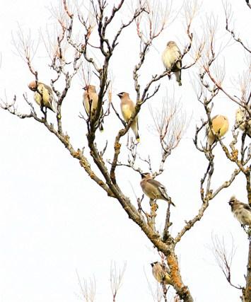 birds cedar waxwings pt (1)