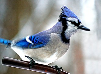 Blue Jay bird a colorful active winter scene