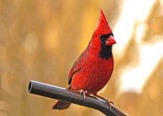 Female Red Cardinal Bird Perched in Winter with Vibrant winter foliage
