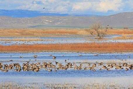 White Fronted Geese & Eagle ,Klamath Wildlife Refuge