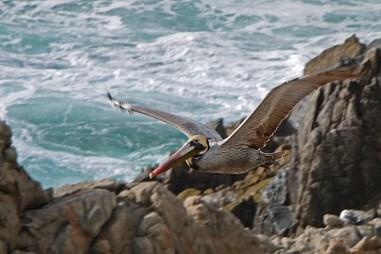 pelican surf rock