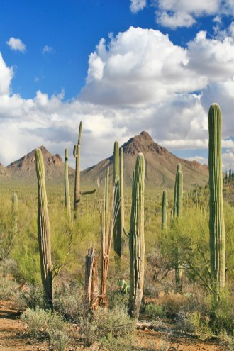 saguaro cactus portrait and mountain