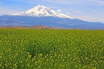 shasta with mustard field 2