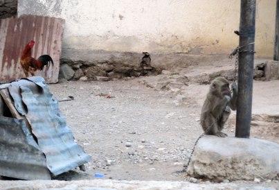 Bobonaro monkey