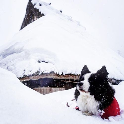 僕、雪に埋められてます。#美山かやぶきの里