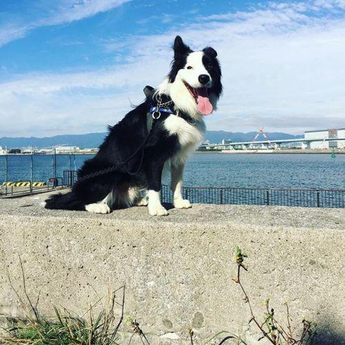 久々にのびのび公園に行ってみたら大型ラジコンヘリとエンジン付きラジコンカーの遊び場と化していた。#ノリノリ犬 #dogontop#危ないから人が来たらやめてね