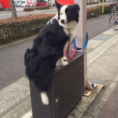 母ちゃんのお買い物を待ってるパクチー。#ノリノリ犬 #dogontop #onthetop