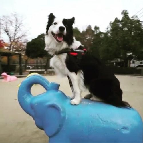 ゾウの上でノリノリ、グルグル。#ノリノリ犬 #dogontop #onthetop