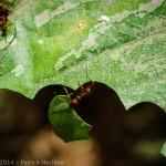Leaf-cutter ants, Sarapiqui, Costa Rica