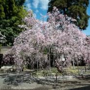 Les cerisiers du sanctuaire Hirano, Kyoto